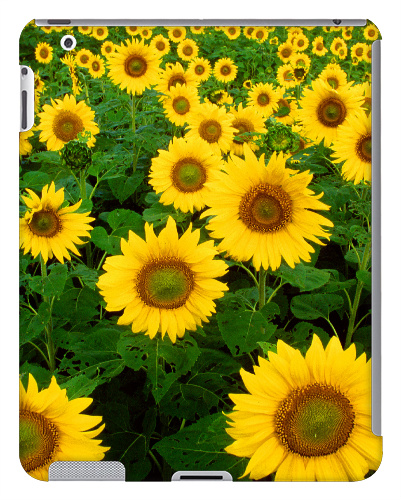 Sunflower Field iPad 2 and 3 Case