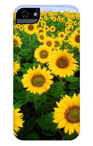 Sunflower Field iPhone 5 and 5s Tough Case